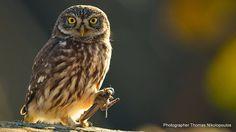Κουκουβάγια (Αthene noctua) Photo by Thomas Nikolopoulos -- National Geographic Your Shot