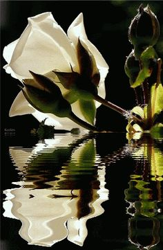 Flowers, Rosas, Water Reflection, Color Splash, Beautiful Flowers, Animated Flowers, Flores, Keefers photo Keefers_Flowers1111.gif