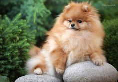 Marvelous Pomeranian Does Your Dog Measure Up and Does It Matter Characteristics. All About Pomeranian Does Your Dog Measure Up and Does It Matter Characteristics. Chihuahua, Pomeranian Puppy, Cute Puppies, Cute Dogs, Dogs And Puppies, Doggies, Animals And Pets, Baby Animals, Cute Animals