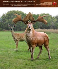 Sinomegaceros pachyosteus by ~RomanYevseyev  Deer can be surprisingly dangerous as it is.  I'm tempted to have the PCs-- next time they run out of food-- pass near some does that are large but not otherwise unusual.  And then have the stag bust out.