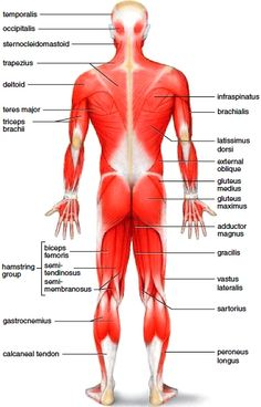 muscles , 6 muscular system pictures labeled : anatomy posterior, Muscles