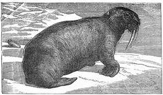 walrus.jpg (3189×1878)