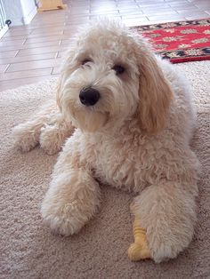 16 New Goldendoodle Haircut Guide Pictures - meowlogy Goldendoodle Haircuts, Goldendoodle Grooming, Cockapoo, Cute Puppies, Cute Dogs, Dogs And Puppies, Doggies, Golden Doodle Dog, Beautiful Dogs