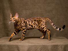 bengal cat - Sök på Google