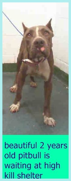 CALI (A1707214) I am a female brown brindle and white Pit Bull Terrier mix. The shelter staff think I am about 2 years old and I weigh 47 pounds. I was found as a stray and I may be available for adoption on 06/29/2015. Miami Dade https://www.facebook.com/urgentdogsofmiami/photos/pb.191859757515102.-2207520000.1435166472./1000428393324897/?type=3&theater