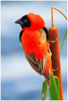 'Red-Bishop' by keithfey Art Photography, Birds, Red, Animals, Fine Art Photography, Animales, Animaux, Bird, Animal