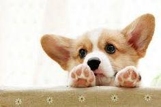 #corgi #corgioverload #cuteness #petoverload #welsh #pembroke #puppy #potato