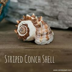 Striped conch shells are one of our most popular items. We can hardly keep them in stock.  #seashells #shellsforsale