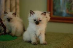 Seal point Siberian kitten! I need this precious little baby!!