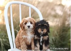 Willow Ridge Puppies for Sale: Cavalier King Charles King Charles Puppy, King Charles Spaniel, Cavalier King Charles, Forever Puppy, Cavapoo Puppies For Sale, Poodle Mix, Puppy Food, Therapy Dogs, New Puppy