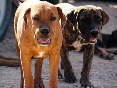 www.elitek-9.com  #bandogge, #protectiondogs, #CEO, #militaryk9, #exotics #vonriesig American Bandogge Mastiff, Executive Protection, Working Dogs, Luxury Life, Peace Of Mind, Dog Training, Animals, Luxury Living, Animales