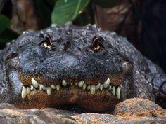 Alligator smile by *MeliXana on deviantART