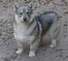 Allow me to present you the Swedish Vallhund, they're basically Wolf Corgis! @Barbara Acosta Acosta Pondel