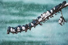 Seemingly Surreal Swallows in a Spring Snowstorm by Keith Williams, via 500px