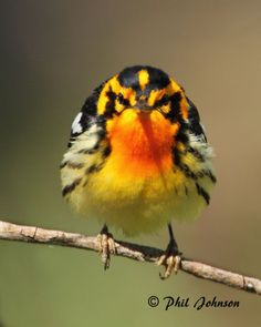Blackburnian Warbler, my favorite warbler! Great snap... Detail & color is outstanding...
