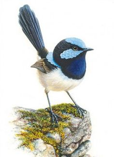 BLUE WREN : The Art of Jeremy Boot, One of Australia's finest wildlife artists Australian Painting, Australian Animals, Watercolor Bird, Watercolor Paintings, Watercolours, Bird Artwork, Bird Drawings, Bird Pictures, Wildlife Art