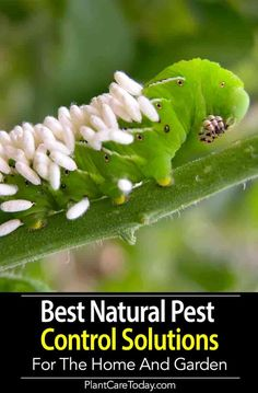 garden Layout Pest Control - Our Best Natural Pest Control Solutions For The Home And Garden. Best Pest Control, Bug Control, Plant Pests, Garden Pests, Garden Insects, Garden Bugs, Roses Garden, Garden Pond, Terrace Garden