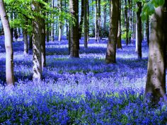The wild bluebells of the woodland near Coton, Northamptonshire. Bluebells are actually hyacinths.