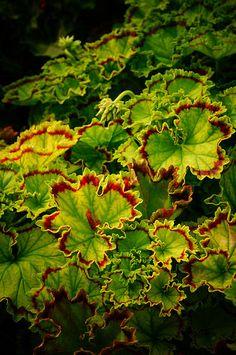 Pelargonium 'Distinctive' | by Karl Gercens