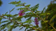 शमी (Prosopis Cineraria) परिचय गुण तथा आयुर्वेदिक उपयोग - Key To Health Key, Health, Plants, Unique Key, Health Care, Plant, Planets, Salud