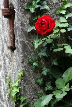 Red rose on stone wall.