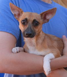 Sierra was found scavenging at a trash bin with no sign of responsible ownership.  She is a tiny and shy, and ready to give her heart to someone gentle who she can depend on for life.  Sierra has a beautiful doe-like appearance, a Chihuahua mix, 2 years young, now spayed and debuting for adoption today at Nevada SPCA (www.nevadaspca.org).  A big sister or brother dog may be ideal to help her adjust to your family/household.