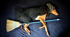 This is my dog Rufus - a goofy Pharaoh Hound from Santa Monica, CA. He's a funny dog that smiles on command, enjoys having spas outs and as you can see here, sleeping! Enjoy!