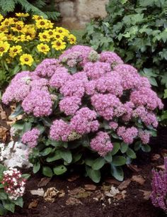 Oktoberbergknapp Berg, Garden Plants, Cabbage, Vegetables, Nature, Flowers, Forslag, Pink, October