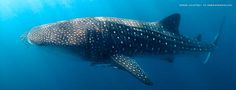 Ningaloo Whale Shark Festival | Annual Celebration of the Whale ...