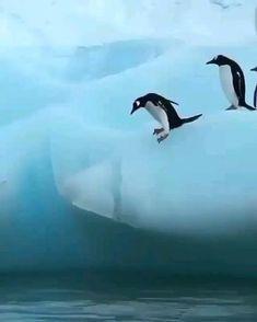 Funny Penguin Videos, Cute Animal Videos, Cute Funny Animals, Cute Baby Animals, Cute Dogs, Amazing Animals, Cute Giraffe, Winter Pictures, Pet Birds