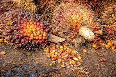 Tutto ciò che non sai sull'olio di Palma  L'olio di palma è vitale nella vita delle popolazioni che vivono ai tropici, così come l'olio di oliva per i popoli mediterranei. Utilizzi terapeutici: L'olio di palma fresco è l'antidoto più comune per i veleni ingeriti dai popoli indigeni della Nigeria sud. È efficace solo prima …
