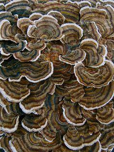 Earthtones...( Shades of brown and beige )---bracket fungi