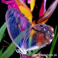 Glasswing transparent butterfly - beautiful and amazing - #Glasswing #Butterfly #Nature ≈√