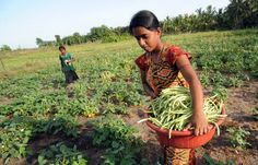 A woman farmer and beneficiary of an FAO/EU project harvesting beans. The project is enhancing food security among the most vulnerable farm families in eastern Sri Lanka.