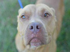 American Staffordshire Terrier dog for Adoption in Fort Lauderdale, FL. ADN-458956 on PuppyFinder.com Gender: Female. Age: Adult
