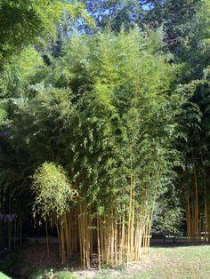 Phyllostachys Aurea (Fishpole Bamboo) 3.5 Litre Pot   Gardening ...