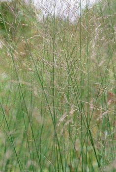 Molinia caerulea subsp. arundinacea 'Transparent Dan Pearson got this also from carol Klein