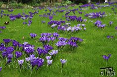 Crocus 'Flower Record', 'Pickwick' and Vanguard