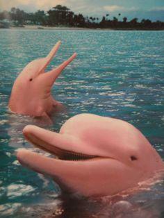Simpáticos delfines rosaditos