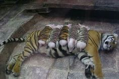 Omg how cute is this?! This was a depressed tiger who's cubs died, and to make her happier she was given piglets dressed in tiger costumes to love and care for!
