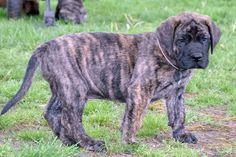 "Logan"" - Brindle Male American Mastiff Puppy - Brandi's 2012 Litter"