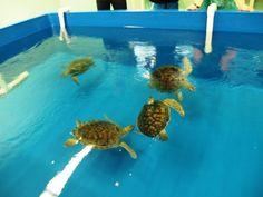 Karen Beasley Sea Turtle Rescue and Rehabilitation Center; A Sea Turtle Hospital on Topsail Island, NC