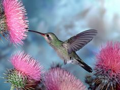 Humming bird is such an amazing little creature. I could sit for hours and watch these little birds.