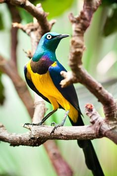 The Golden-breasted Starling is distributed to the grassland, savanna and shrubland of East Africa, from Somalia, Ethiopia, Kenya and northern Tanzania. Pretty Birds, Beautiful Birds, Animals Beautiful, Cute Animals, Exotic Birds, Colorful Birds, All Birds, Love Birds, Mundo Animal