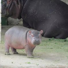 no one will ever understand my want for a hippopotamus.