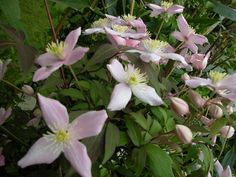 Clematis montana group ... www.clematis.be...