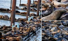 Starving sea lions flee California for Oregon - Oh, there they are. Up the coast.