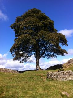 The famous tree from Robin Hood Prince of Thieves at Hadrians Wall