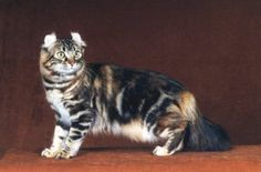 Beautiful American Curl Brown Patched Classic Tabby, GC, RW Procurl Harem Lauren Bacurll, DM bred by Caroline Scott and Michael Tucker of Pr...