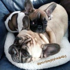 Snuggle bug French Bulldogs.